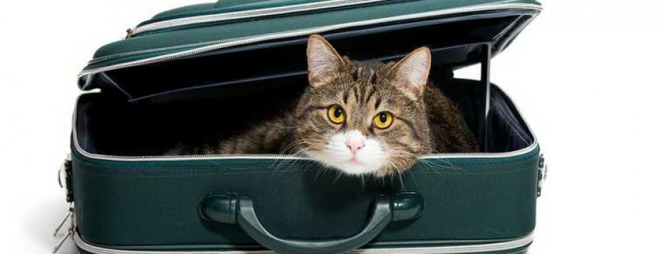 animal; bag; cat; color; concepts; curiosity; cute; domestic; fluffy; fur; gray; isolated; journey; luggage; mammal; nature; one; paw; pets; playful; portrait; relaxation; staring; striped; suitcase; tourism; transportation; travel; vacations; whisker; white; young;